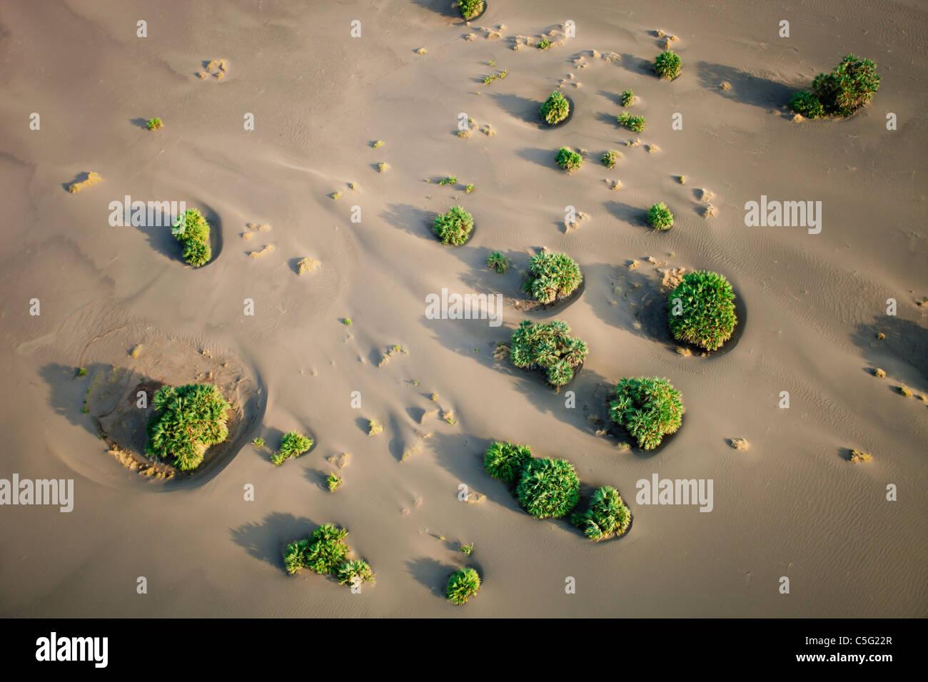 Dune di palme di essere inghiottito dalla sabbia. Suguta Valley,Kenya Immagini Stock