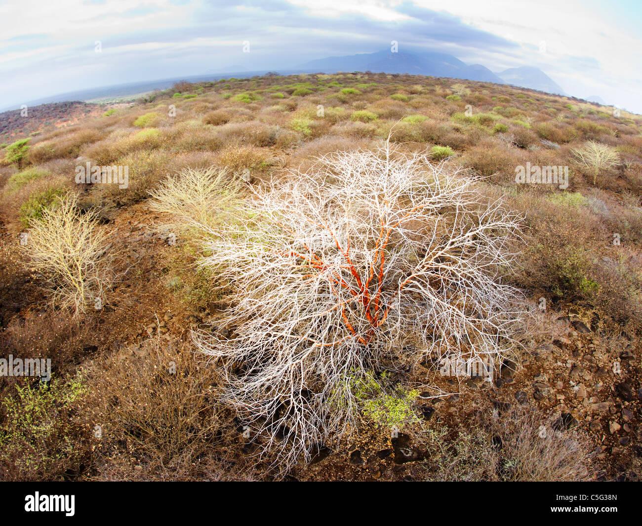 Acacia Kenya Settentrionale, Kenya Immagini Stock