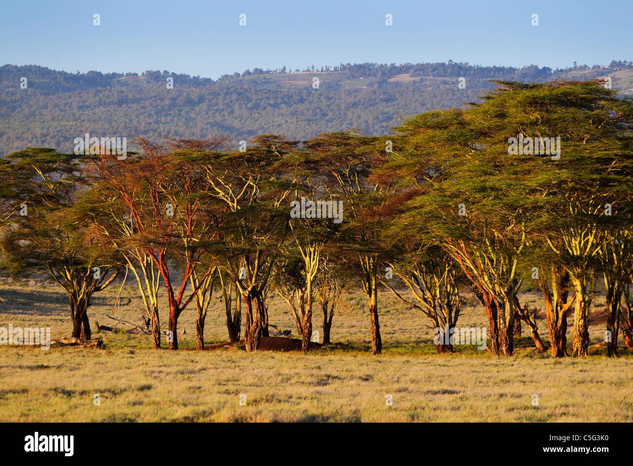 Fever tree (Acacia xanthophloea) in Kenya Immagini Stock