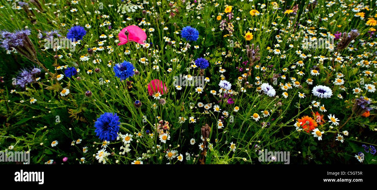 Prato di fiori selvaggi panorama. Un campo pieno di fiori selvatici ...