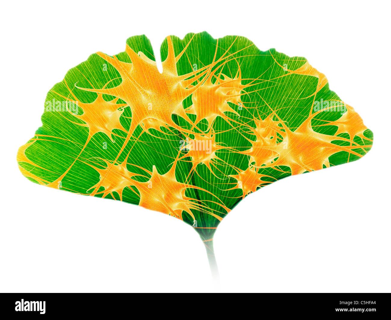 Il Ginkgo e delle cellule nervose Immagini Stock