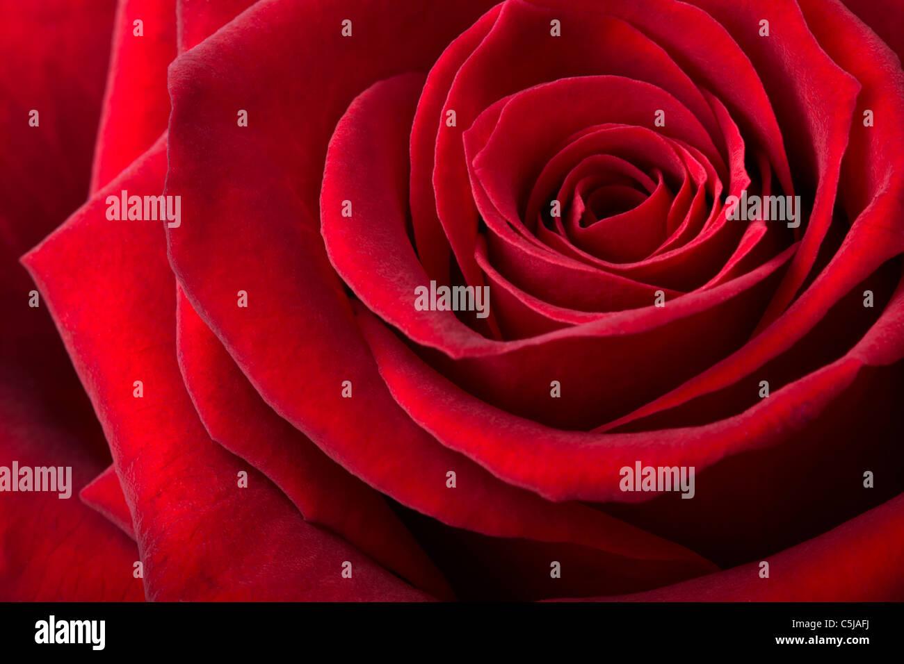 Rosa rossa sullo sfondo Immagini Stock