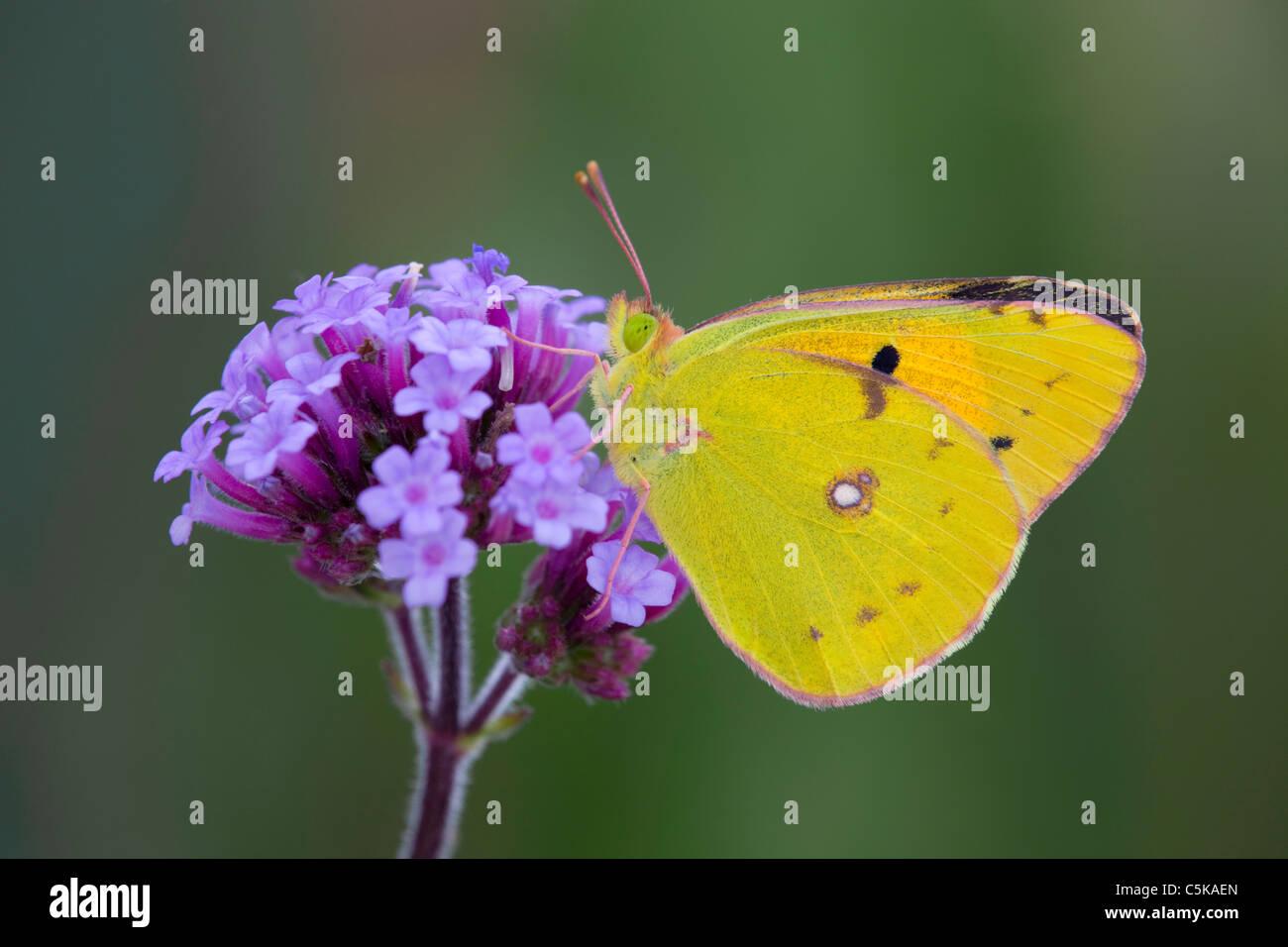 Offuscato Giallo farfalla; Colias croceus; su verbena fiore Immagini Stock