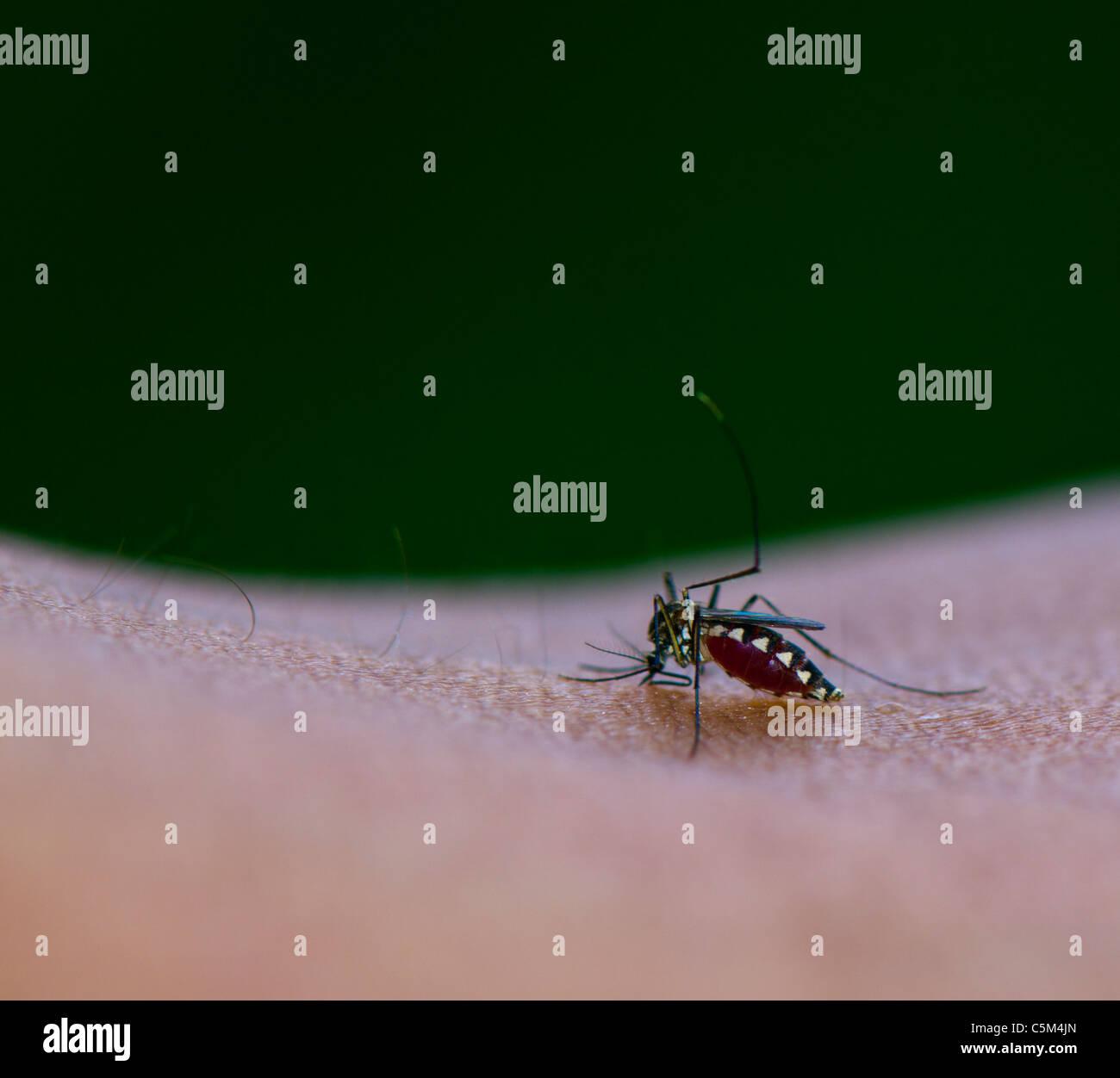 Mosquito succhiare il sangue dalla pelle umana corpo Immagini Stock