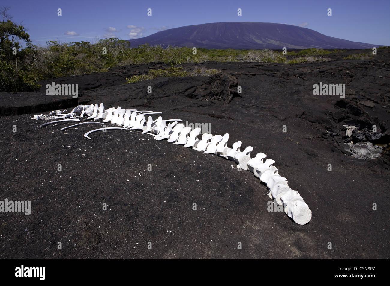 Scheletro di balena, Fernandina Island, Galapagos, Ecuador Immagini Stock