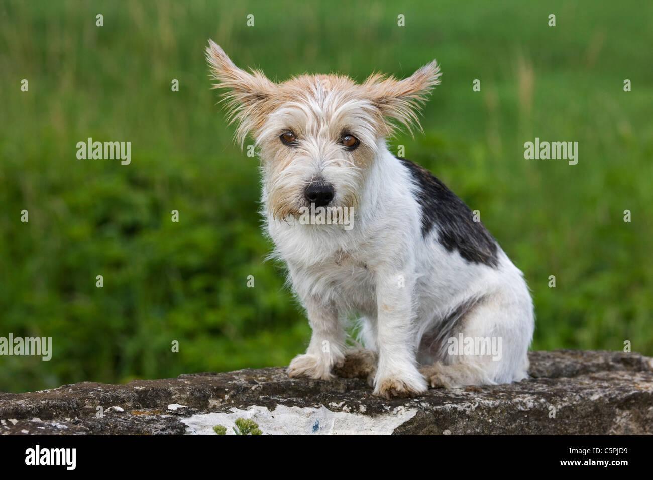Rough-rivestito Jack Russell Terrier (Canis lupus familiaris) in giardino Immagini Stock