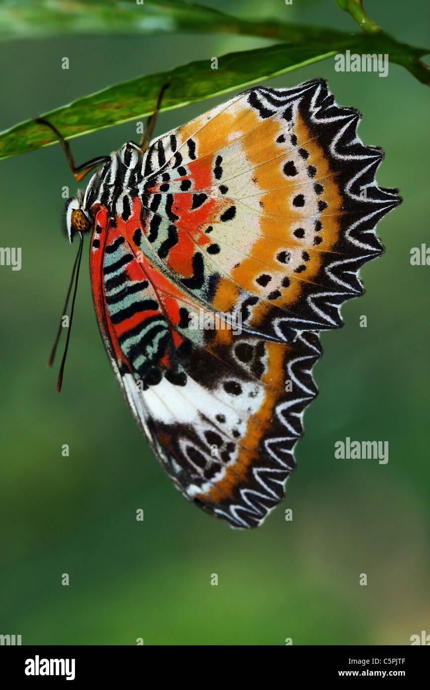 Farfalla tropicale appeso su una foglia Immagini Stock