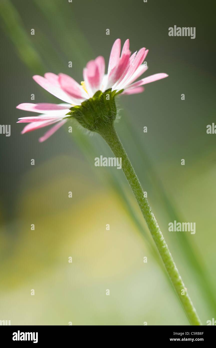 In Germania, in Baviera, chiusura del singolo daisy in giardino Immagini Stock