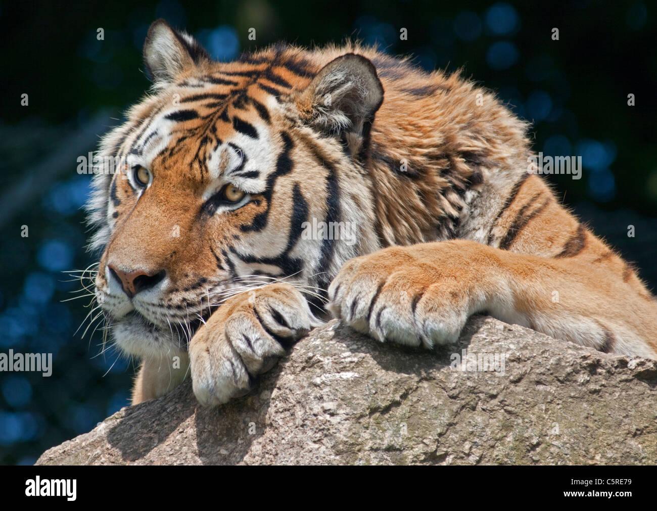 Tigre di Amur/tigre siberiana (panthera tigris altaica) Immagini Stock