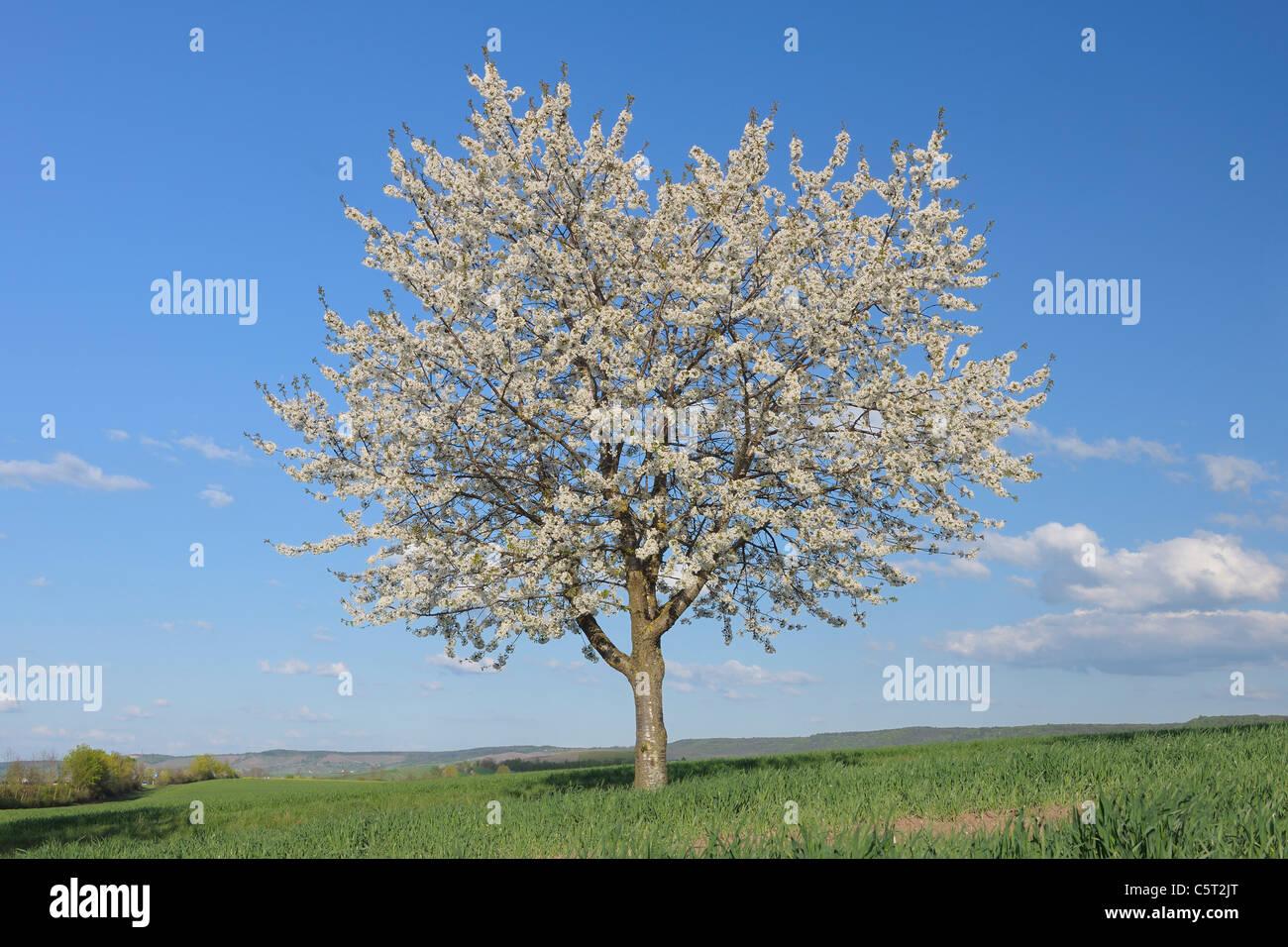 L'Europa, in Germania, in Baviera, Franconia, vista della singola struttura Cherry Blossom nel campo Immagini Stock