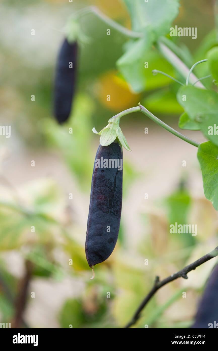 Pisum sativum . Il segnale di PEA Purple Podded in un giardino di messa a fuoco selettiva. Immagini Stock
