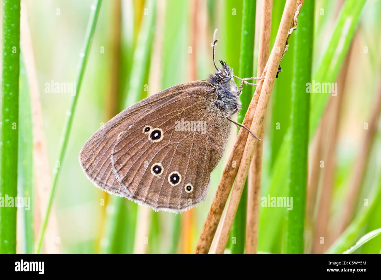 Anello di appoggio di farfalla tra soft rush Immagini Stock