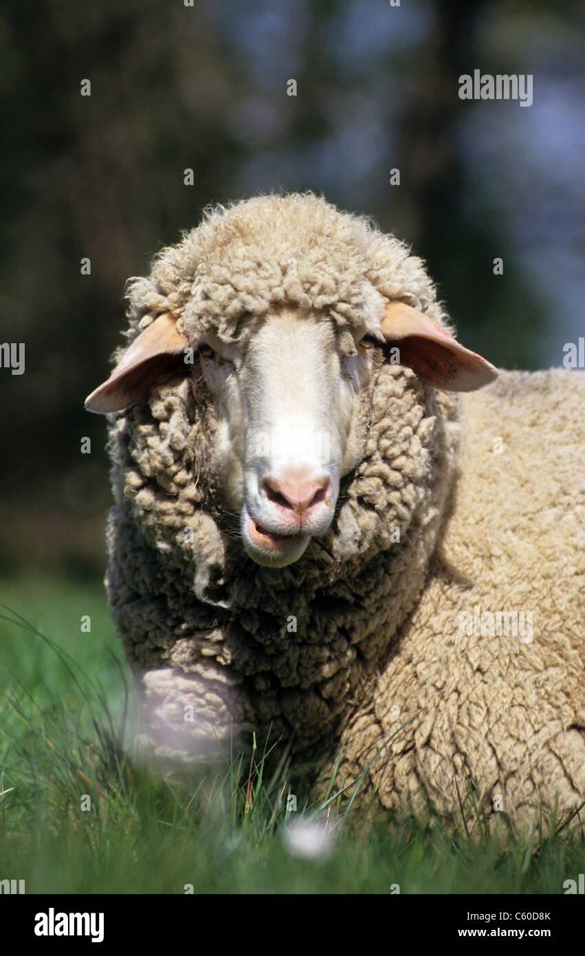 Gli animali domestici delle specie ovina (Ovis ammon aries). Ritratto di una pecora giacente in erba durante la Immagini Stock