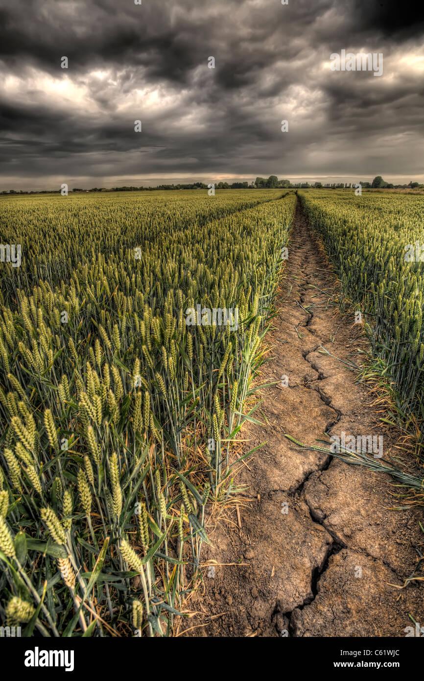 Un colpita dalla siccità campo di grano. Immagini Stock