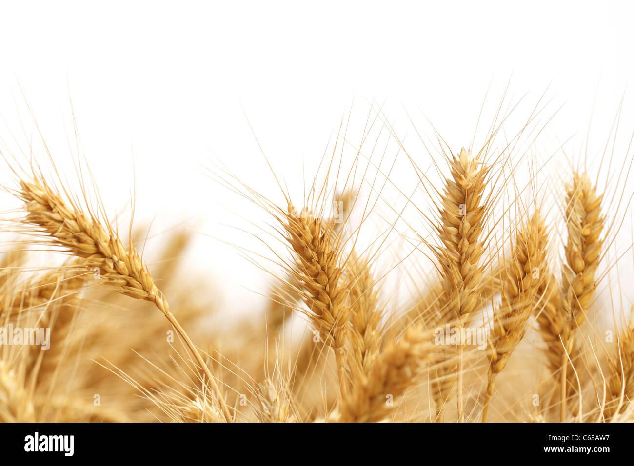 Spighe di grano isolato su bianco. Immagini Stock