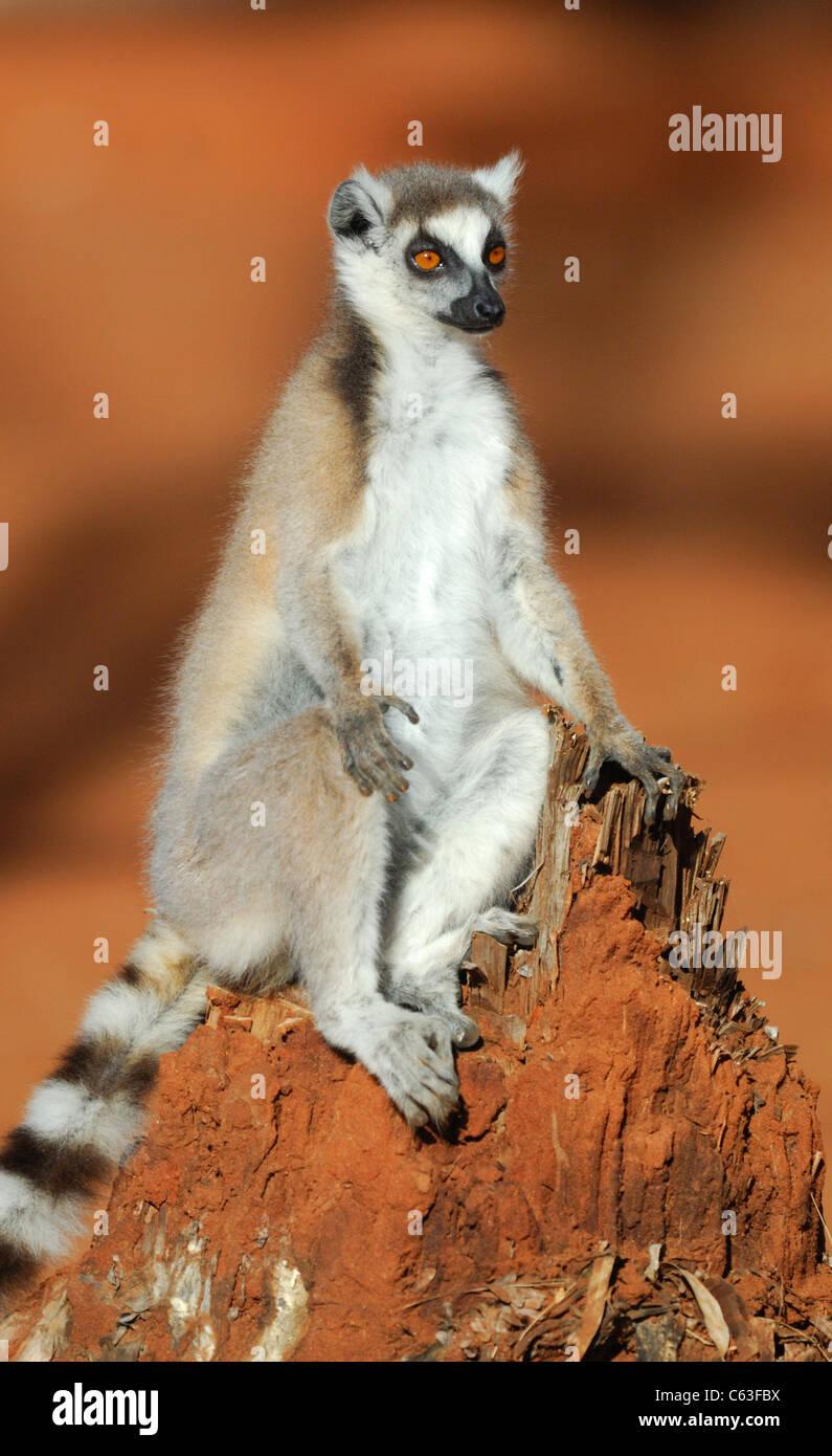 Anello-tailed Lemur nella Riserva Berenty, Madagascar, Agosto 2010. Immagini Stock