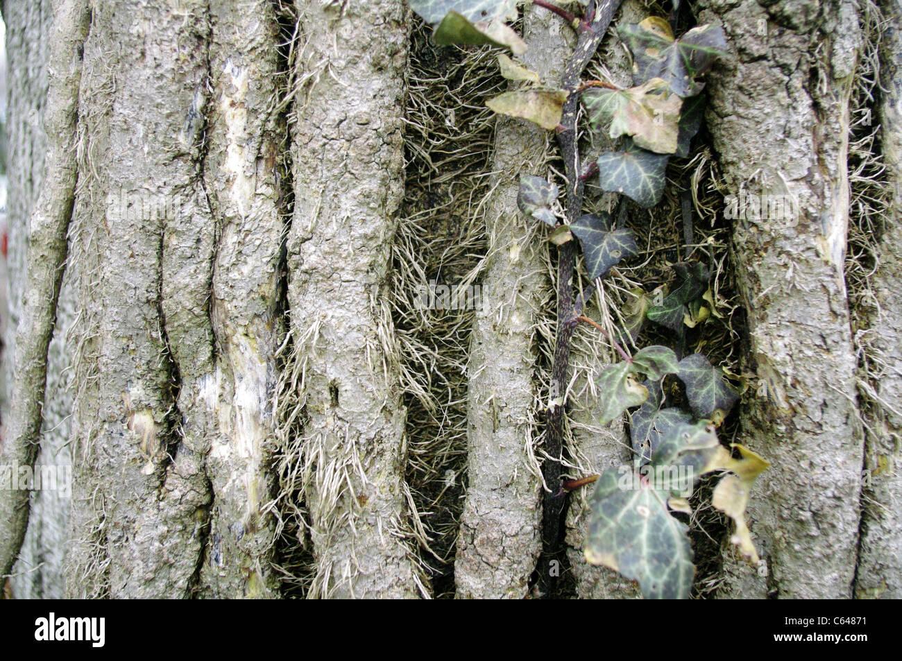 Acero Radici Invasive inglese (edera hedera helix) i vitigni e radici intubamento