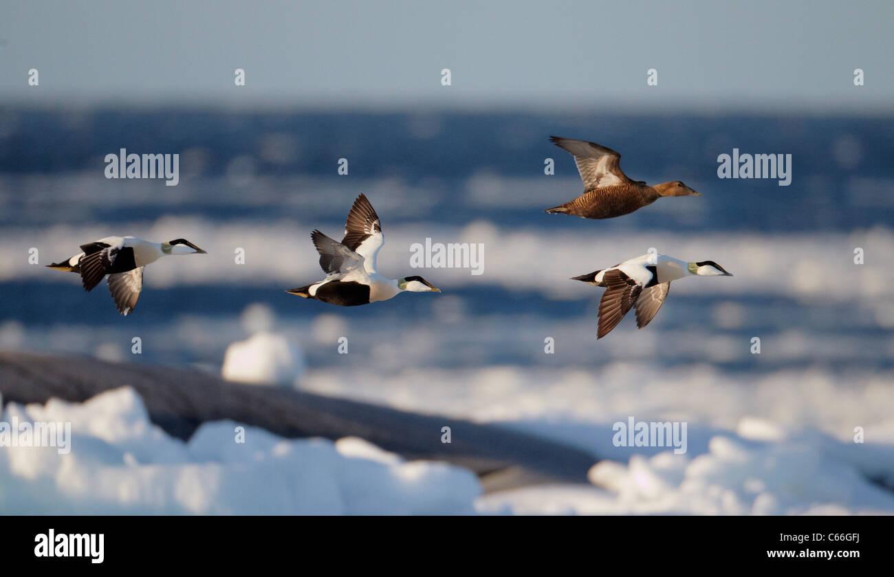 Eider comune (Somateria mollissima). Tre i draghetti e un anatra in volo sopra il ghiaccio-oggetto del Mar Baltico. Immagini Stock