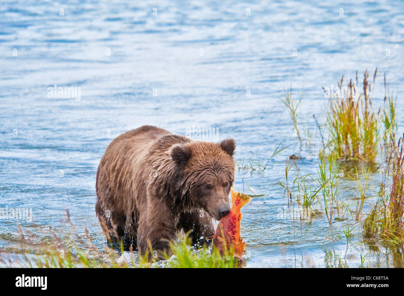 Grizzly Bear Cub portando il salmone, Ursus arctos horriblis, fiume Brooks, Katmai National Park, Alaska, STATI Immagini Stock
