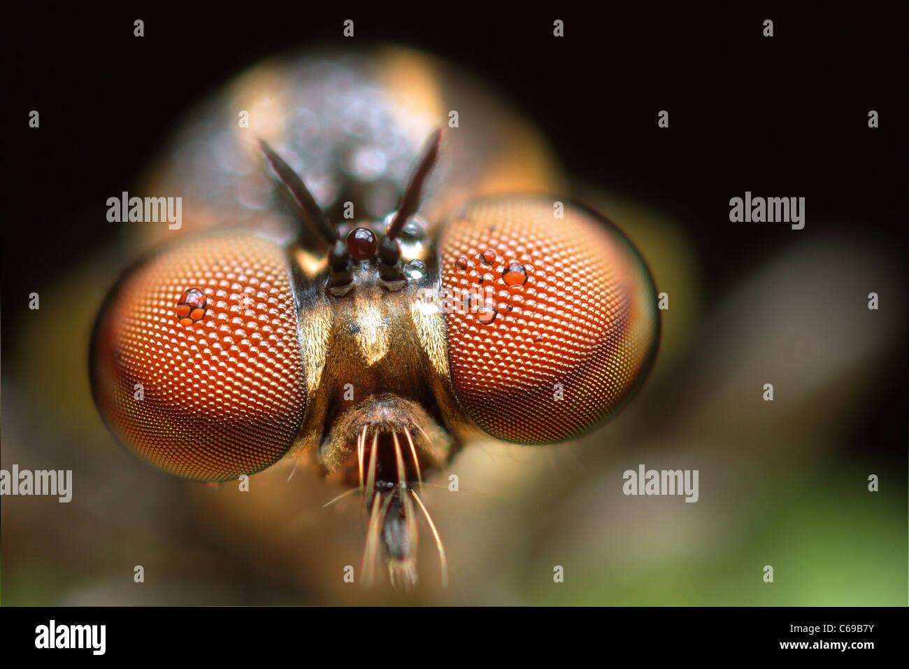 Robber Fly, Holcocephala fusca Immagini Stock