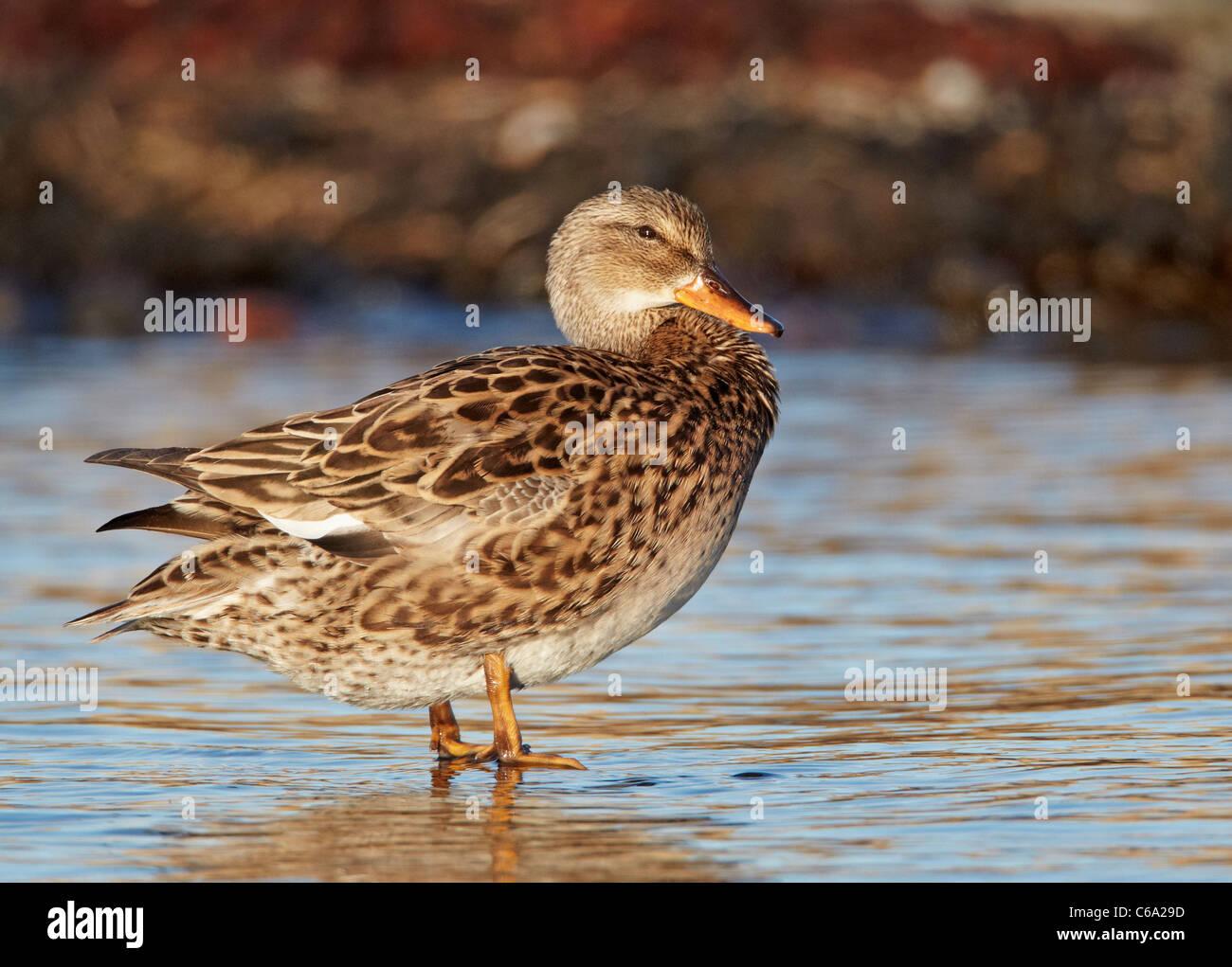 Canapiglia (Anas strepera), femmina in piedi in acqua poco profonda. Immagini Stock