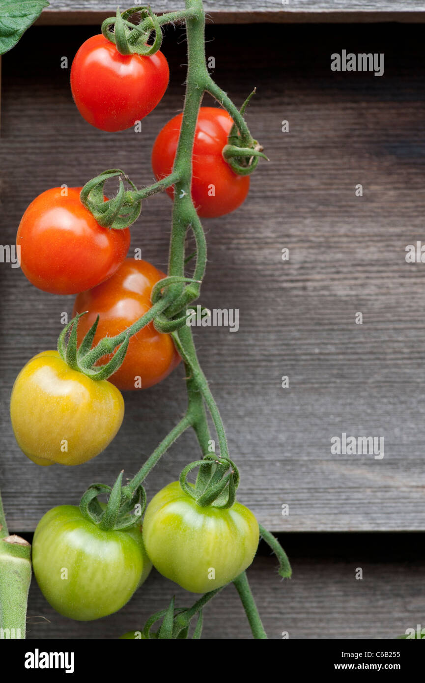 Solanum lycopersicum. Bacche di pomodoro ibrido F1 sulla vite contro scuri pannelli di legno Immagini Stock