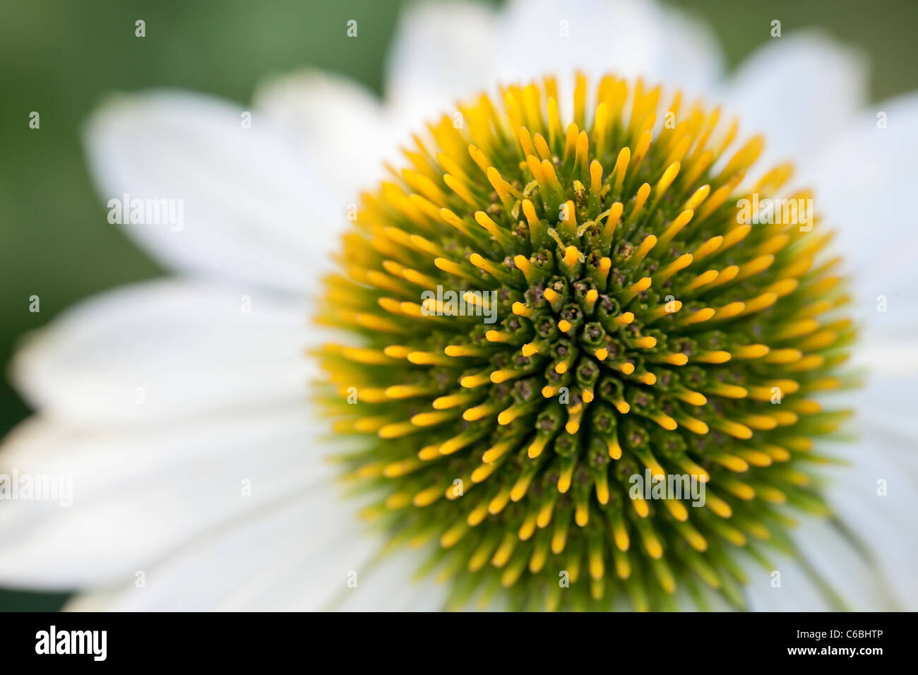 Bianco o Coneflower Echinacea fiore, vista ravvicinata, il fuoco selettivo. Immagini Stock