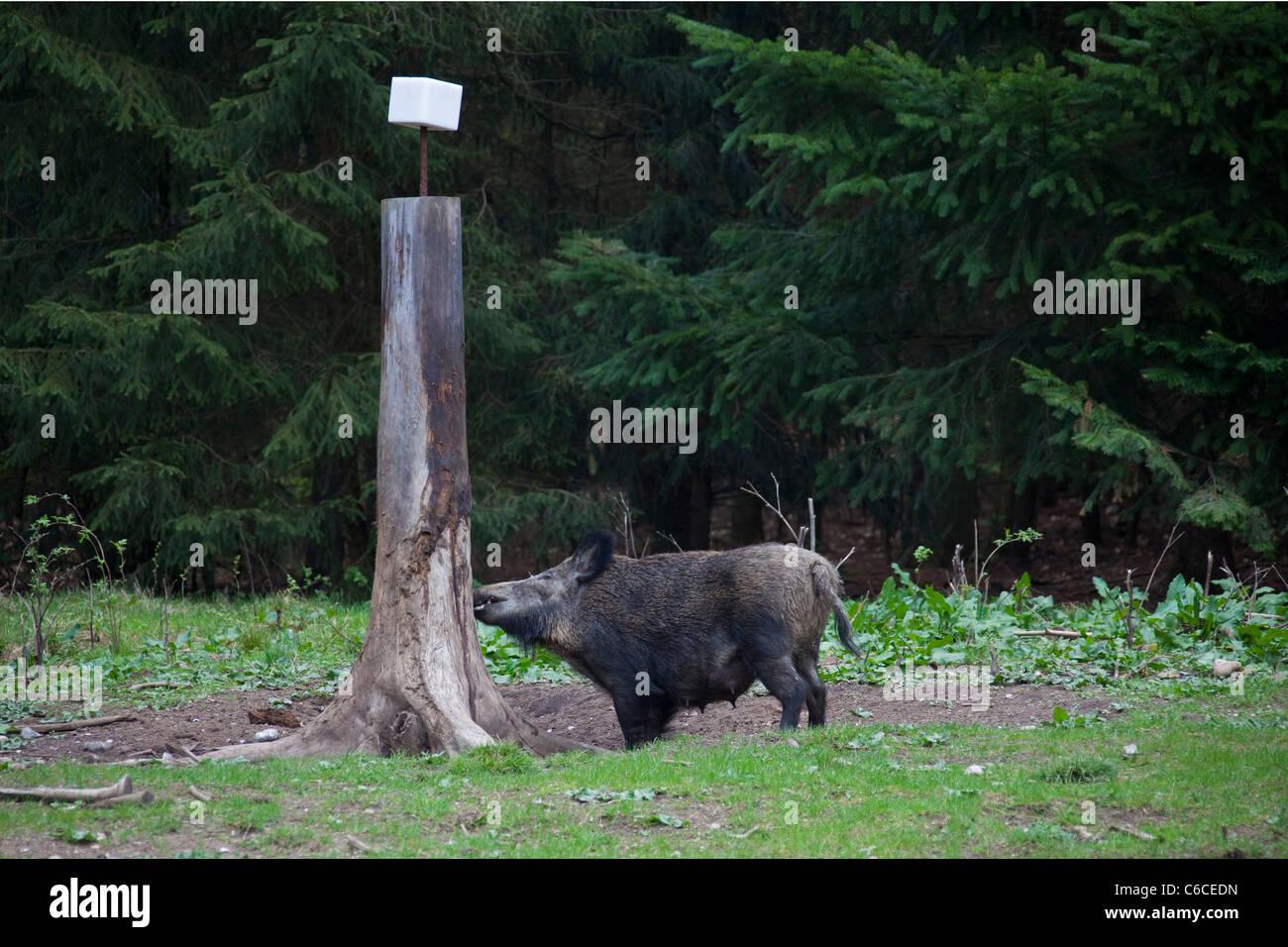 Il cinghiale sow (Sus scrofa) al Salt Lick in foresta, Germania Immagini Stock
