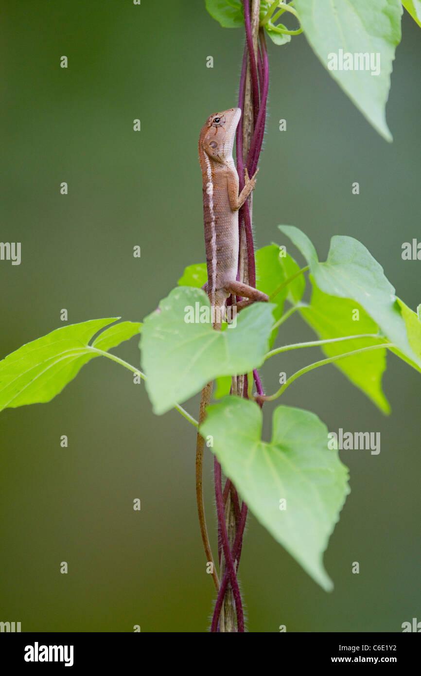 Giardino, orientali o variabile (lucertola Calotes versicolor) Ko Ra, nel sud della Thailandia. Immagini Stock