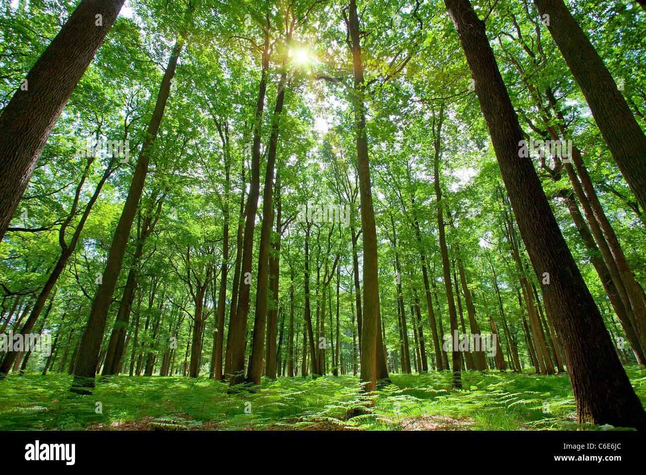 La foresta di Rambouillet, Immagini Stock