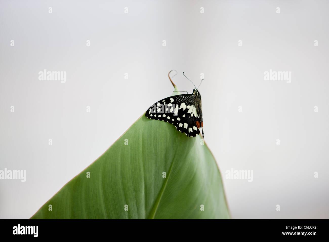 Un Lime, butterfly Papilio Demoleus malayanus sulla punta di una foglia Immagini Stock