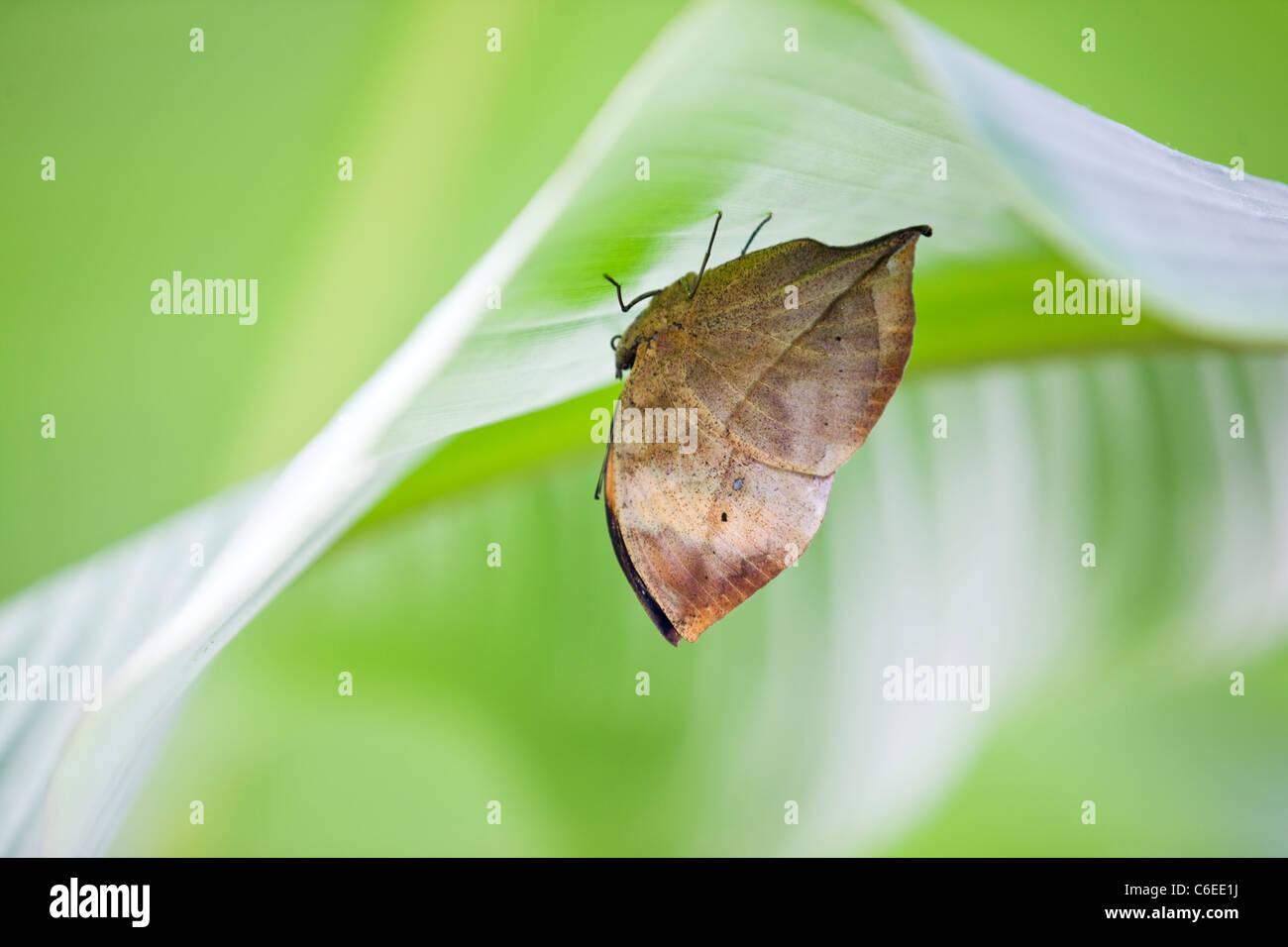 Un arancio o Oakleaf foglia morta farfalla su una foglia, Kallima inachus Immagini Stock
