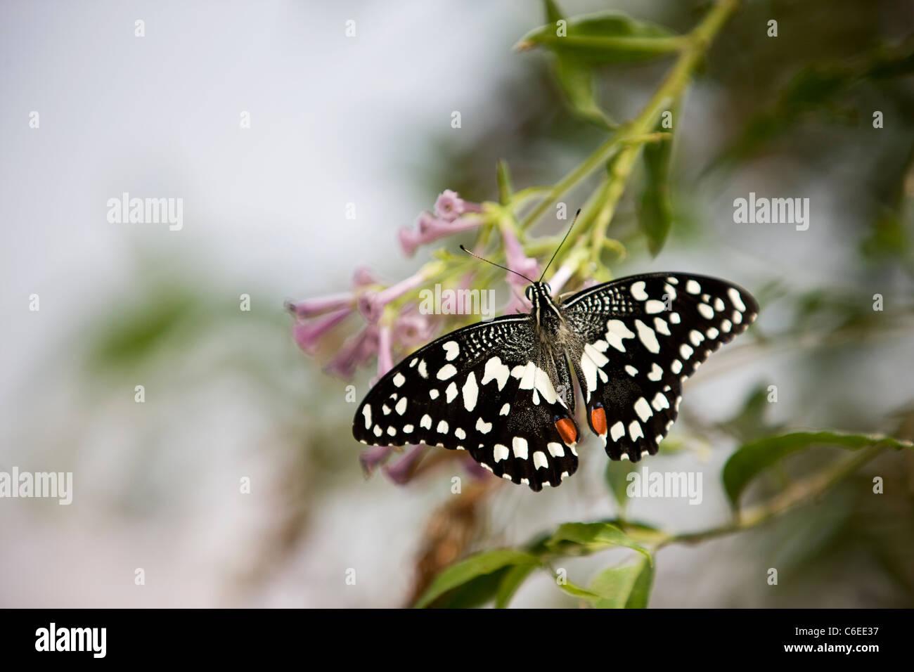 Un Lime, butterfly Papilio Demoleus malayanus su un fiore rosa Immagini Stock