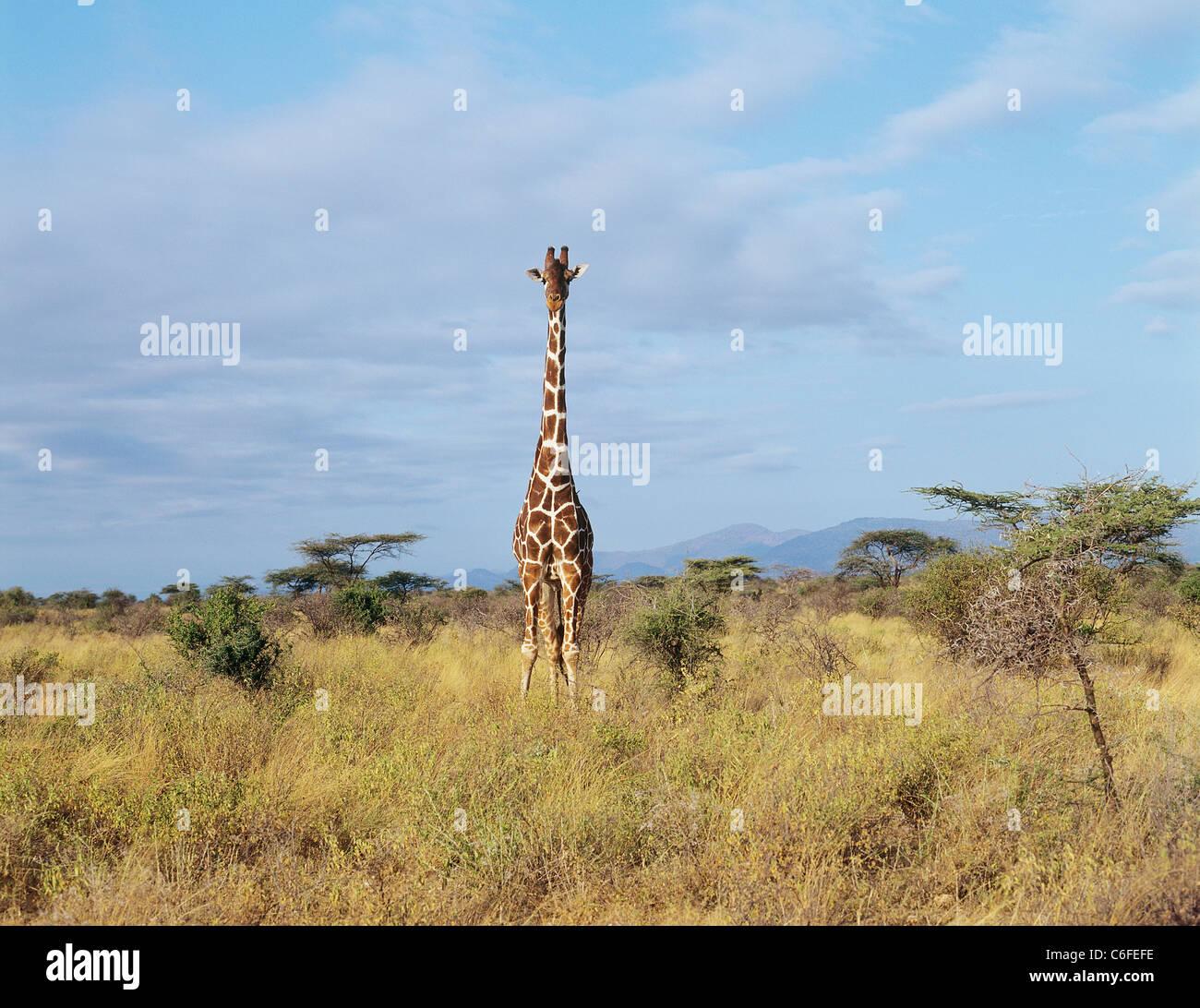 Giraffa - In piedi / Giraffa camelopardalis reticulata Foto Stock