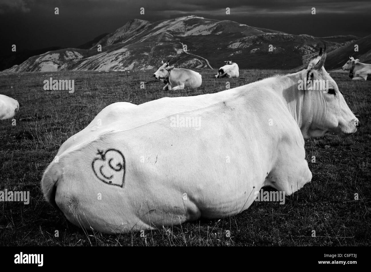 Tatuato mucca su una montagna Immagini Stock