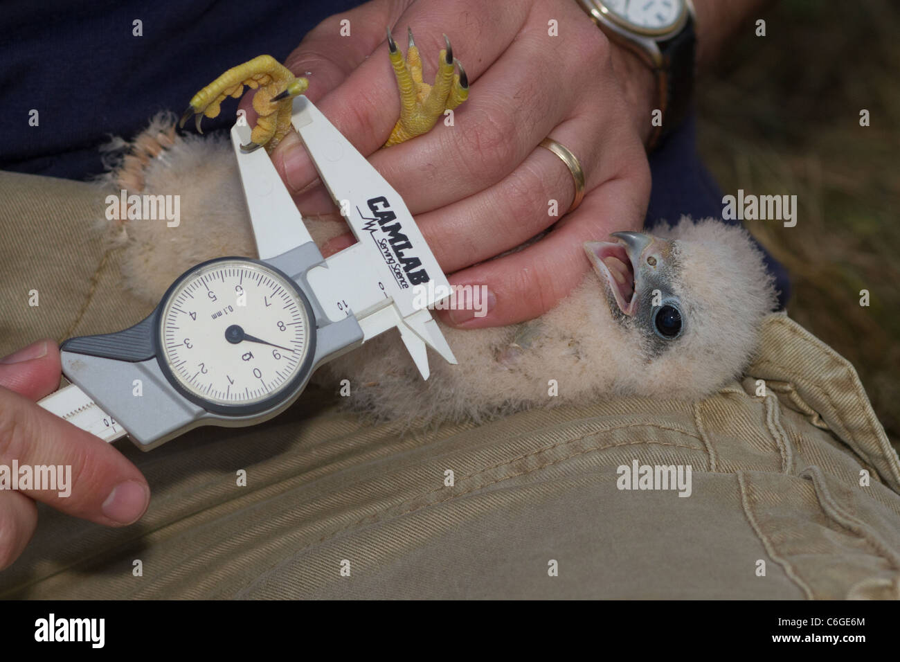 Close-up di giovani Hobby (Falco Subbuteo®) in mano, Cambridgeshire, Inghilterra Immagini Stock