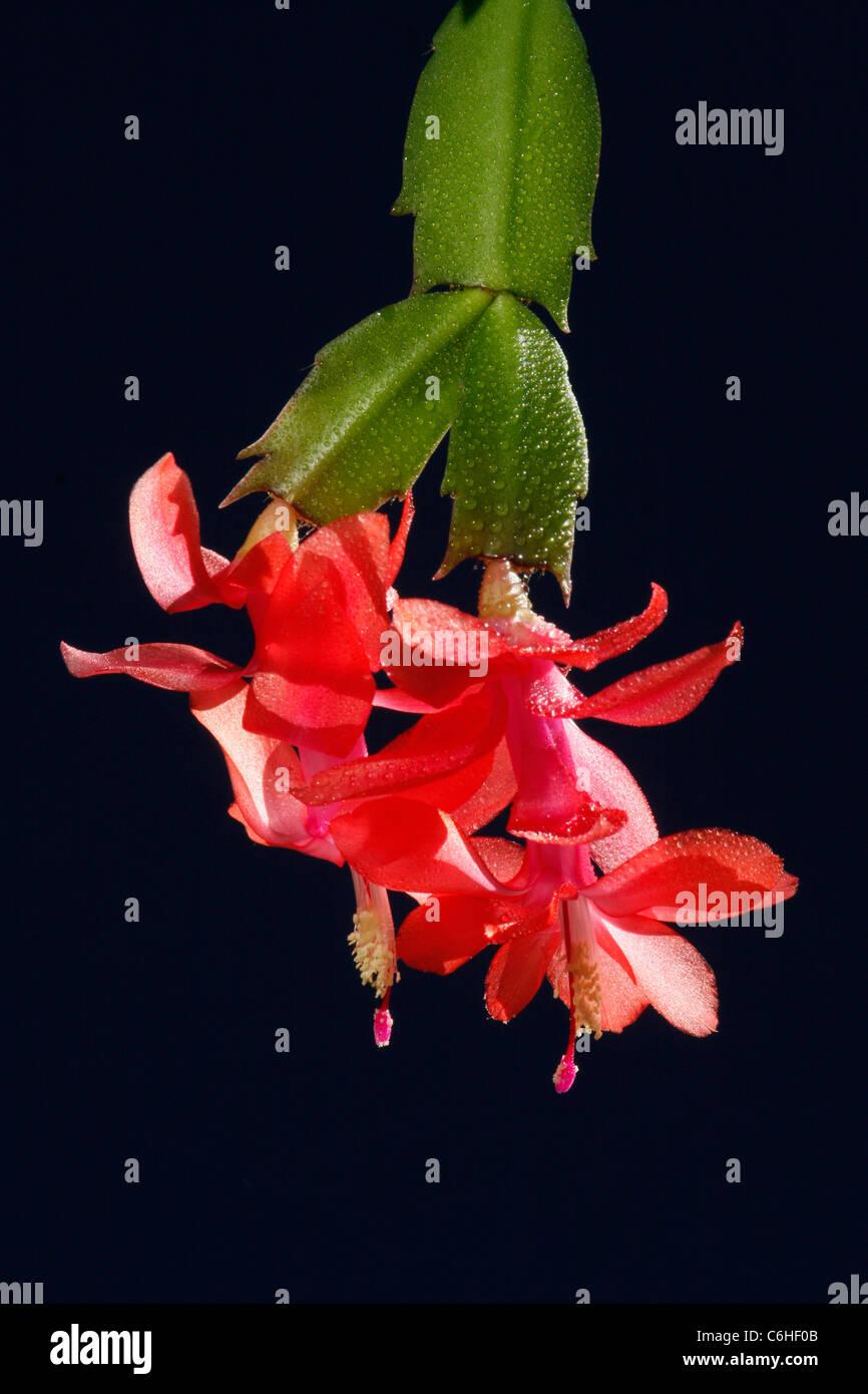 Red succulenti fiore di cactus Immagini Stock