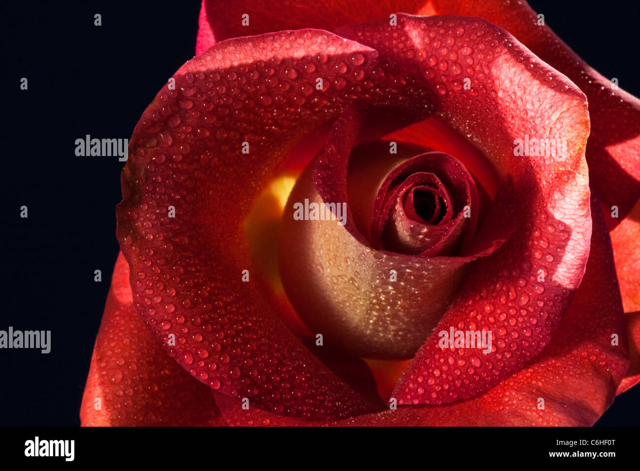 Girato a tenuta di un dispiegarsi di fiori di rose Immagini Stock