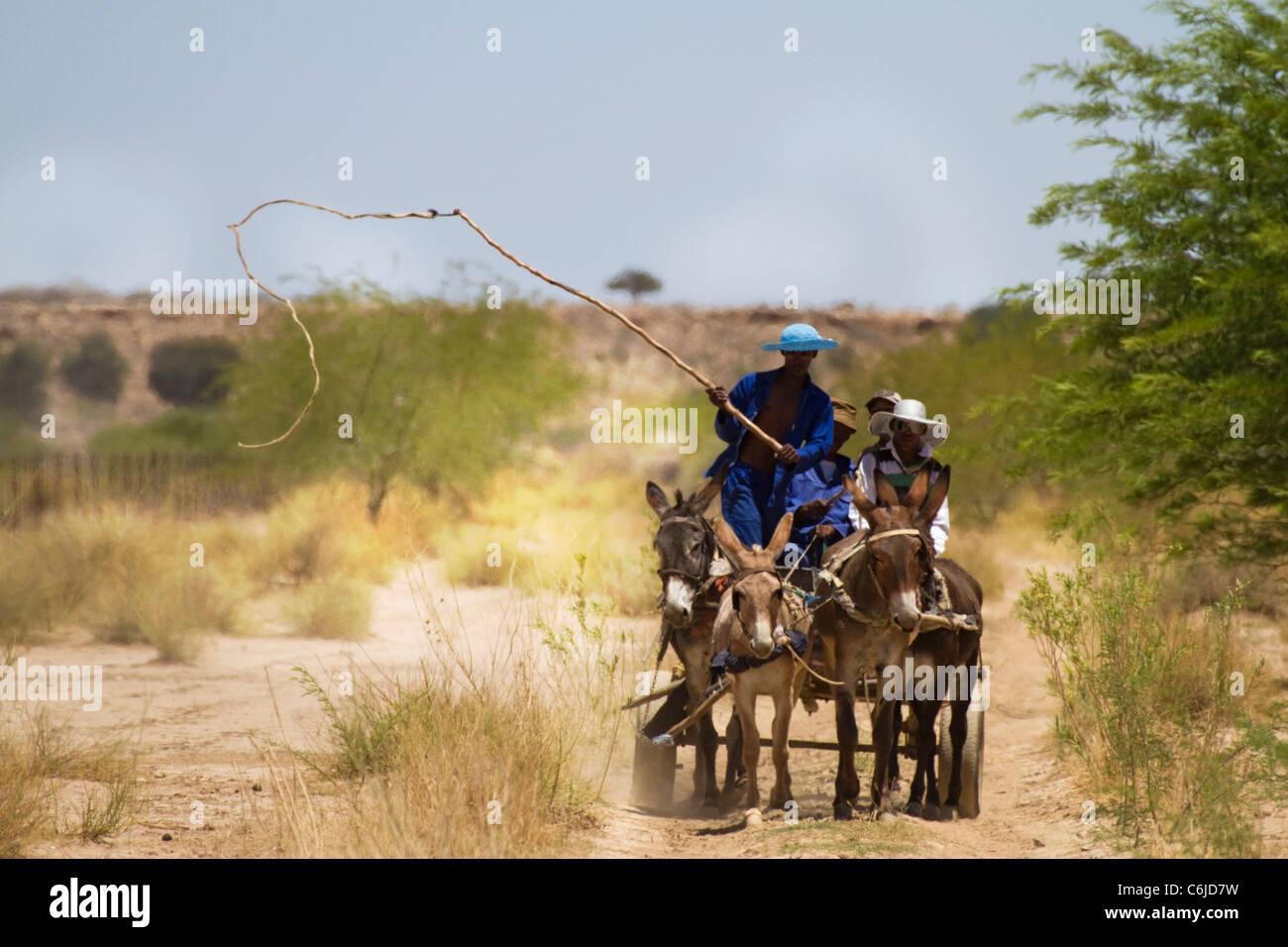 Donkey cart nel Kalahari con un uomo armato con una frusta per sollecitare gli asini in avanti Immagini Stock