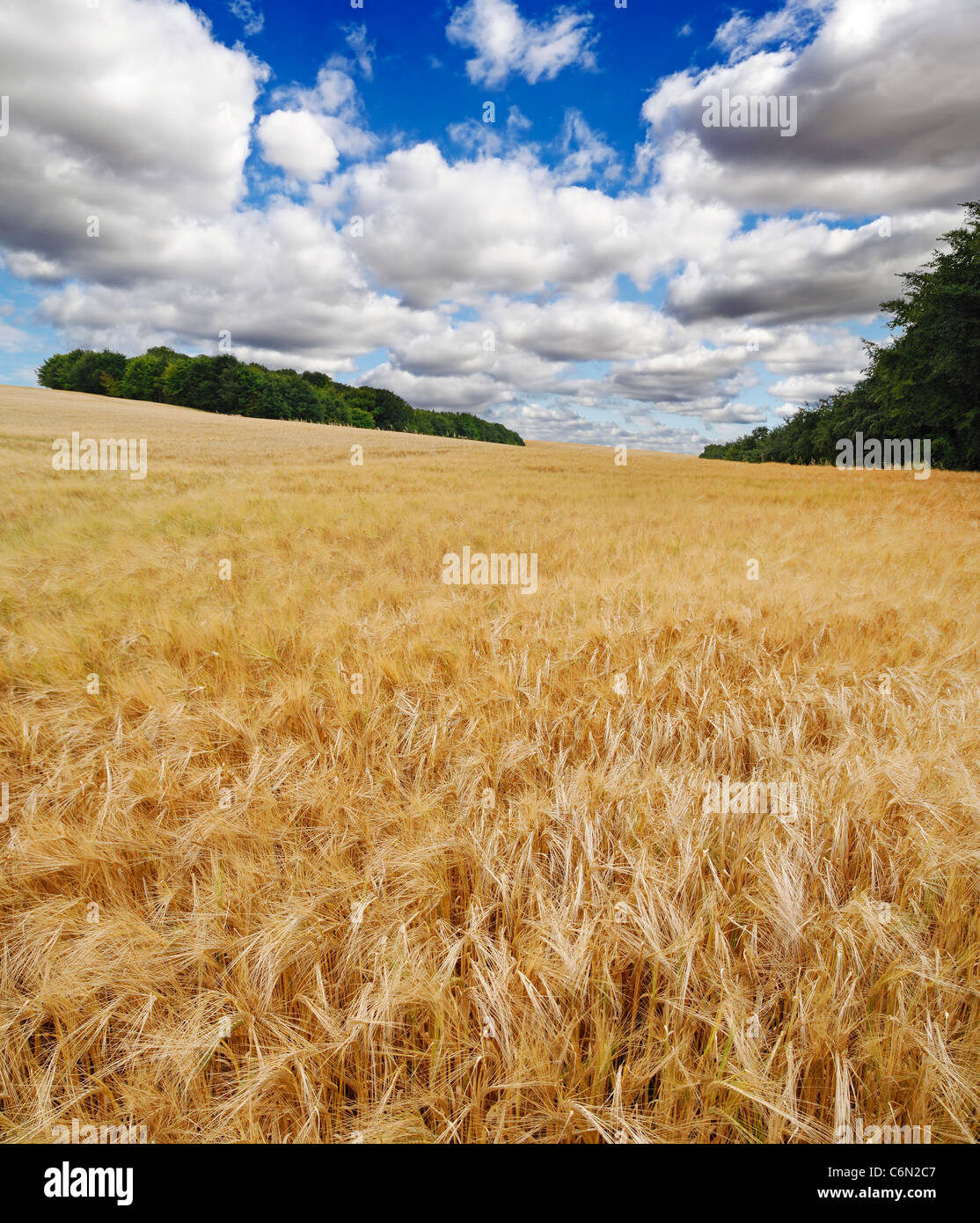 Campo di orzo, Knighton, Oxfordshire, Regno Unito. Immagini Stock