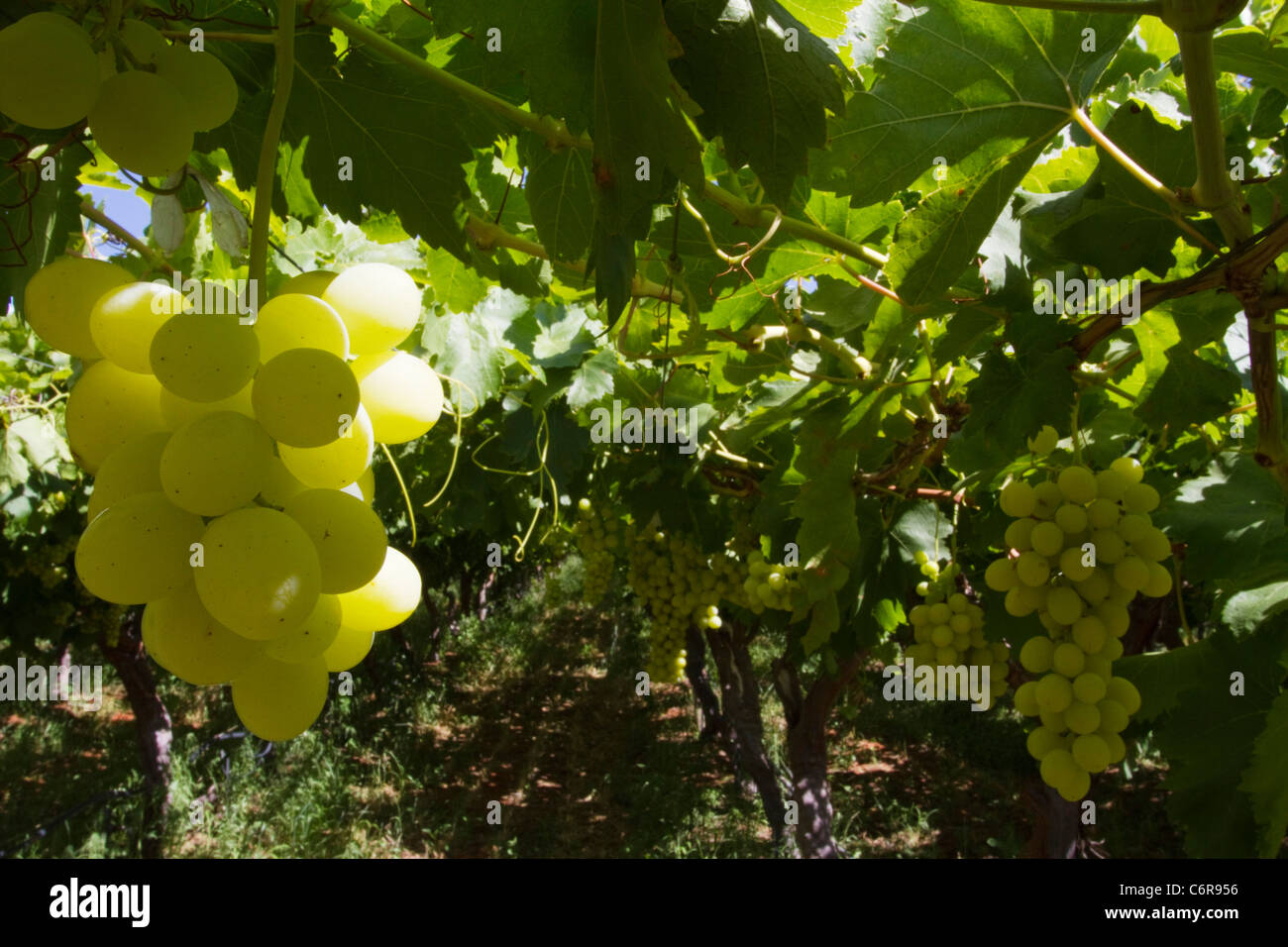 Un grappolo di uva bianca su una vite in un vigneto irrigato sulle rive del fiume Orange Immagini Stock