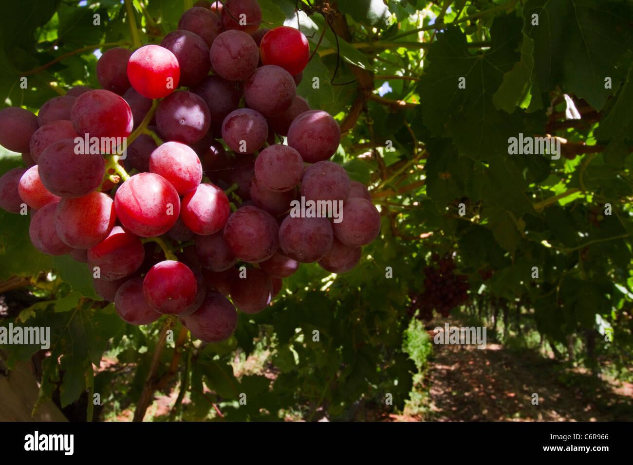 Un grappolo di uva rossa su una vite in un vigneto irrigato sulle rive del fiume Orange Immagini Stock