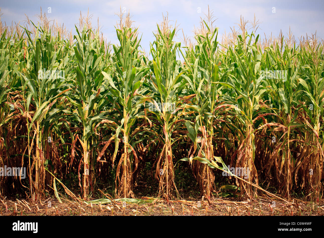 Campo di grano granturco Immagini Stock