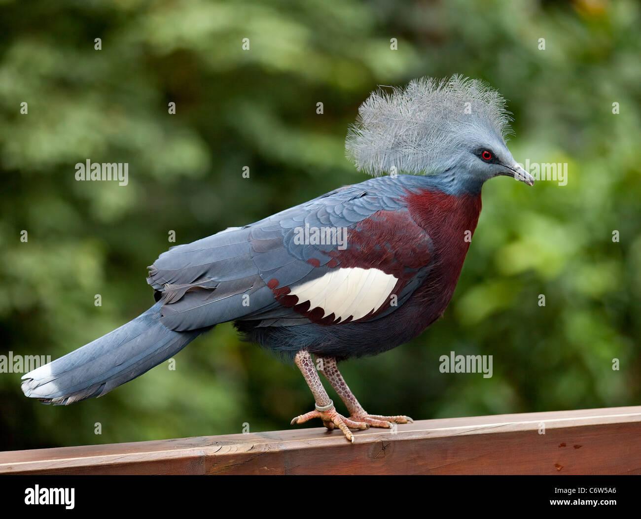 Victoria incoronato piccione (Goura victoria) in Hong Kong voliera Immagini Stock