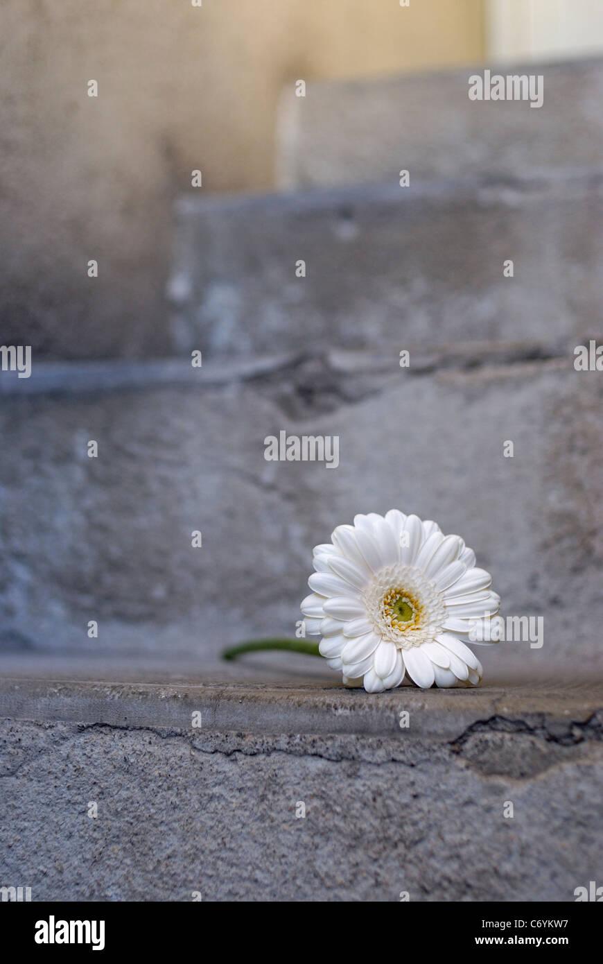 Fiore bianco sui passi concreti, close up Immagini Stock