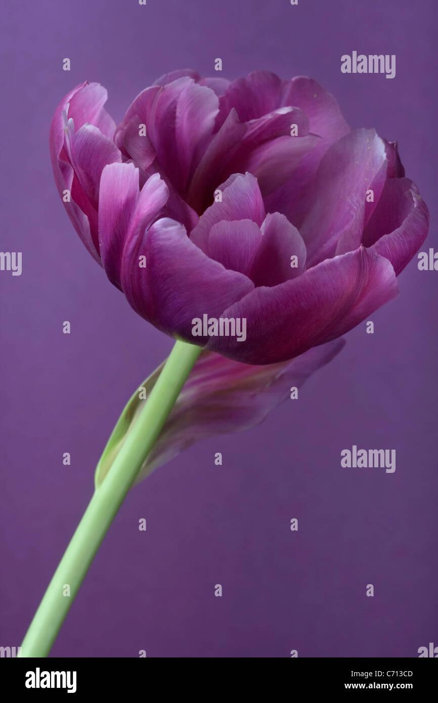 Tulipa, Tulip, singolo fiore viola oggetto, sfondo viola Immagini Stock