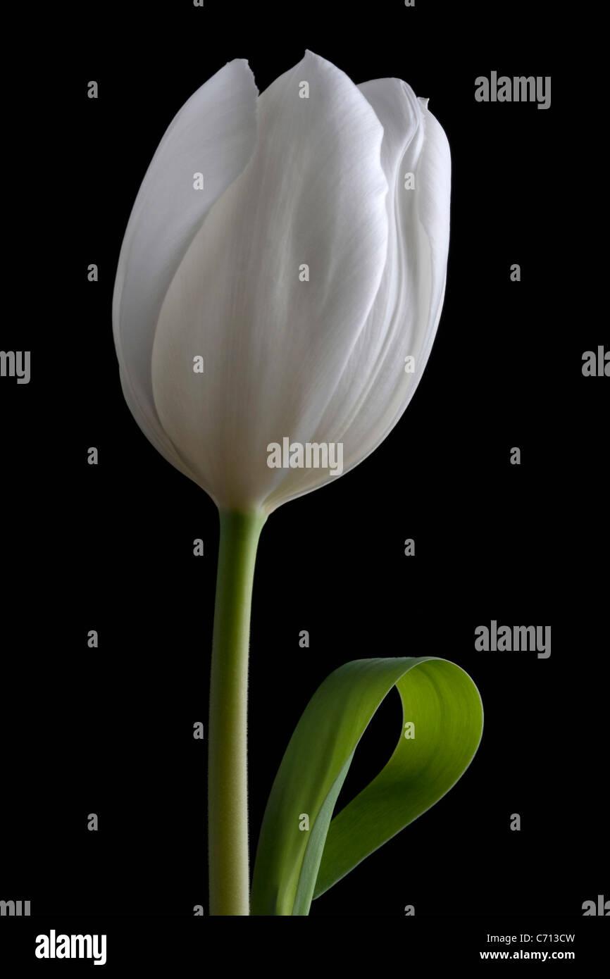 Tulipa, Tulip, singolo fiore bianco oggetto, sfondo nero Immagini Stock