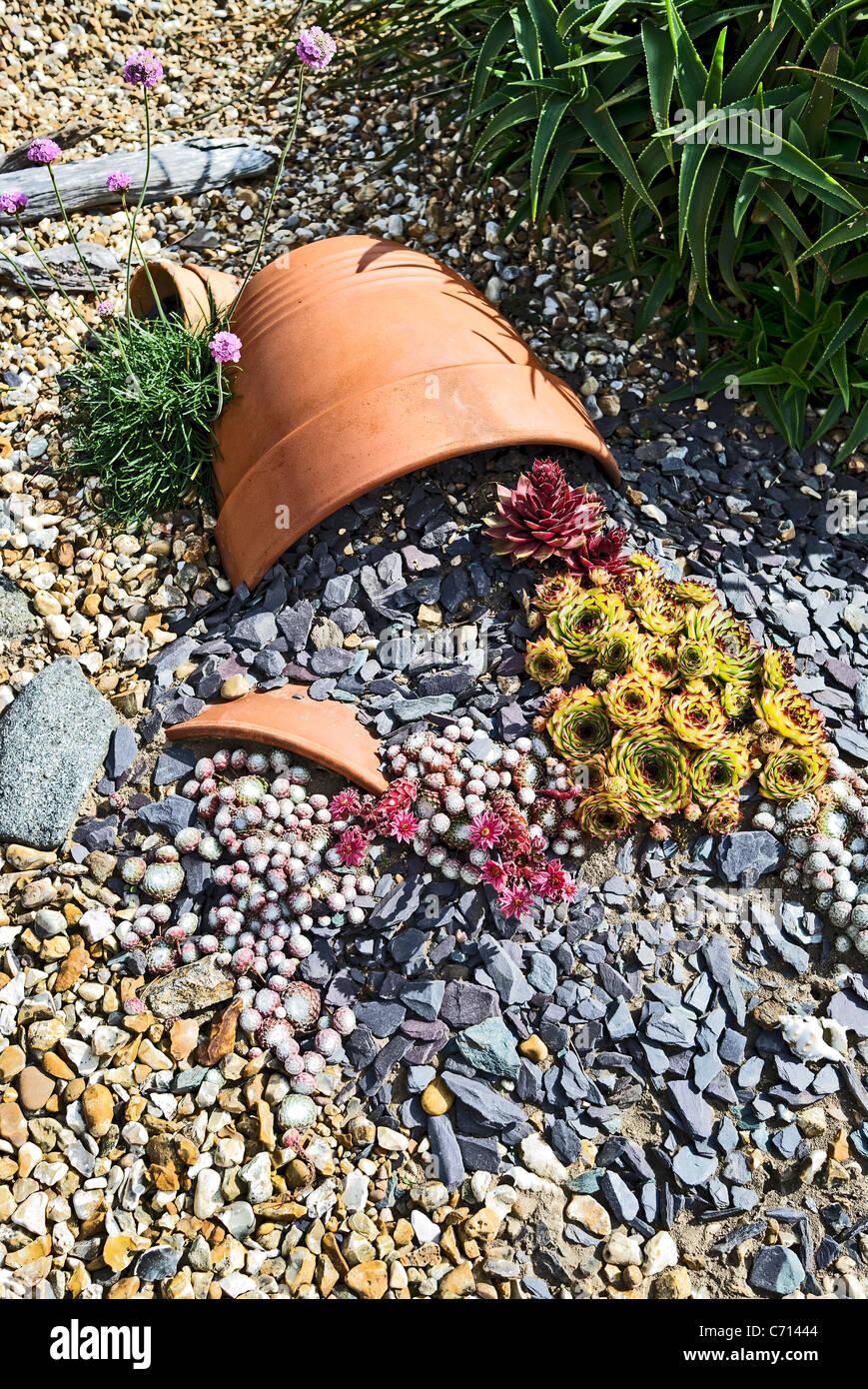 Innovativo display di Sempervivum piante in un piccolo giardino Immagini Stock