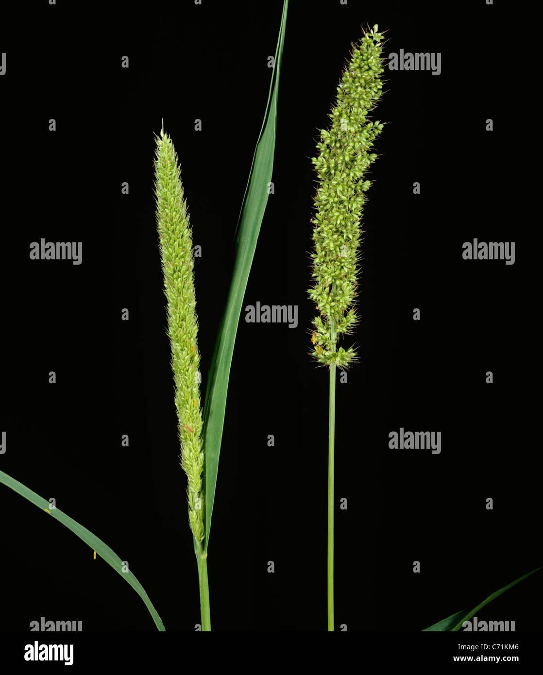 In modo irregolare o setole Bur-erba (Setaria verticillata) picchi di fiori Immagini Stock