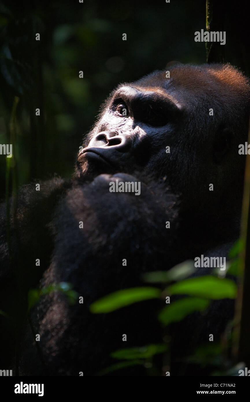 Leader di Gorilla Silverback- - maschio adulto di un gorilla.Western pianura gorilla. Immagini Stock